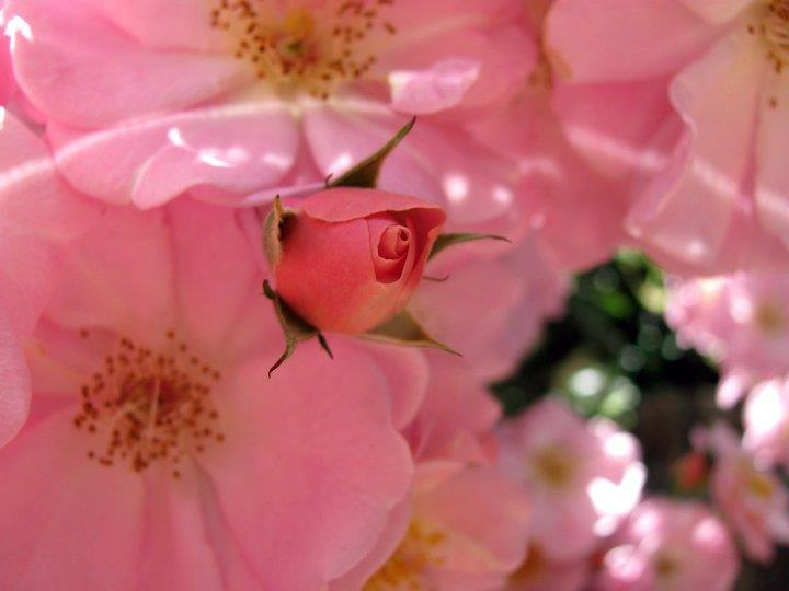 Beneficial insects attracted by our flowers, such as this pink climbing rose, eat insects that are harmful to our garden (photo McFadden ranch)