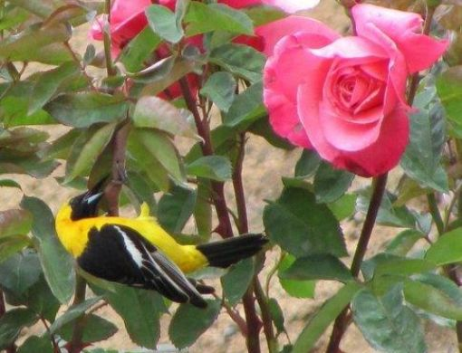 A migratory species, this Hooded Oriole (male), is foraging for insects and nectar on this First Prize rose bush.