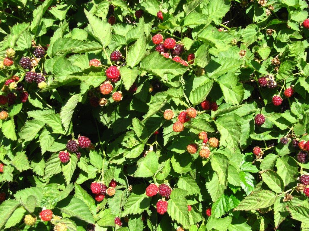 Boysenberries grow well in our warm climate and are easily watered with
