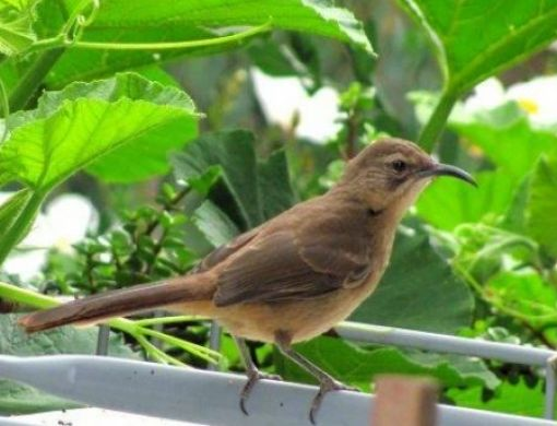 California thrashers are regular visitors to Lakeside gardens. They forage for insects just below the soil surface as well as on the plants.