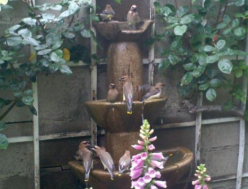 This fountain, recycled from a Craigslist ad, has proven to be one of the most interesting and frequented gathering places. In this shot the Cedar Waxwings have taken center stage.