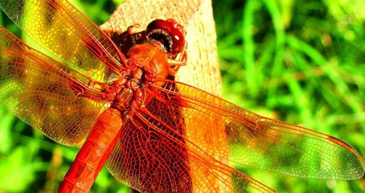 Dragonflies are beneficial on the land and in the water. As nymphs, they eat mosquito larvae and as adults they eat other insects. http://www.dragonfly-site.com/what-do-dragonflies-eat.html