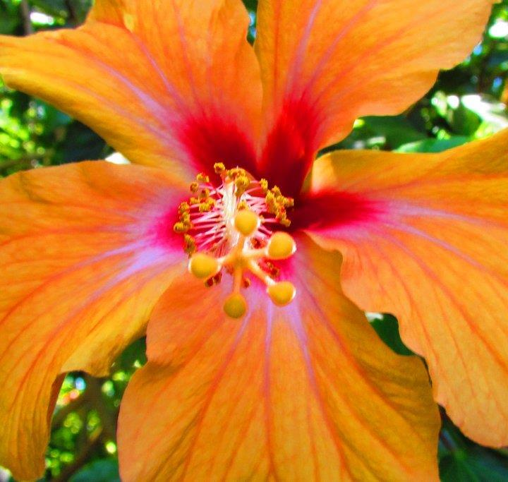 Orange Hibiscus.  These plants respond amazingly well to organic fertilizers and organic pest control.