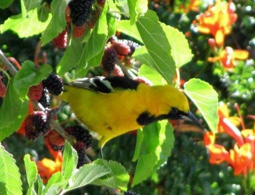Hooded Oriole eating the mulberries