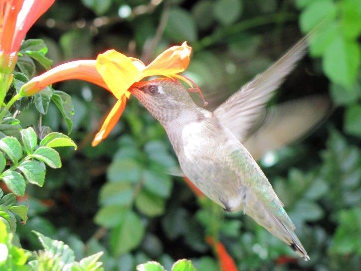 One of our many year round residents is the Anna's hummingbird (female), taking nectar from a Cape Honeysuckle bush.