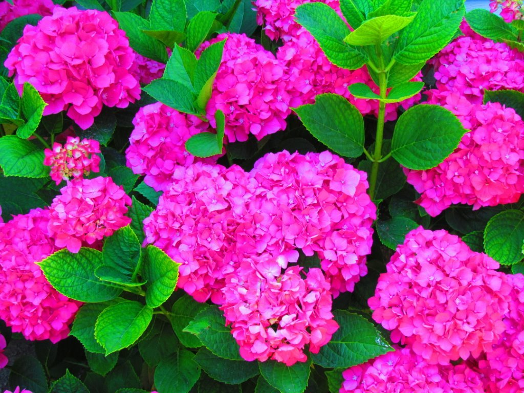 Hydrangeas grow exceptionally well in Lakeside when provided just the right mix of sun, cool shade and water.