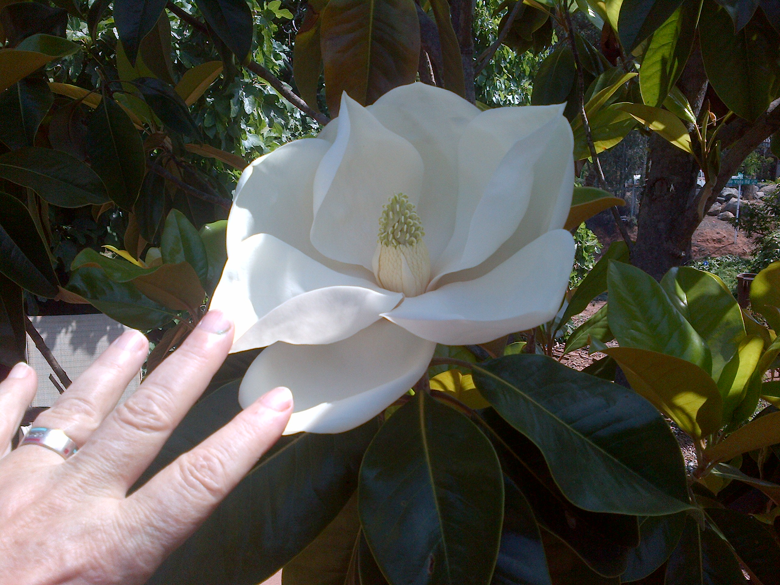 Magnolia trees love Lakeside. A Magnolia blossom in Kitty Cooper's garden  (photo Kitty Cooper)