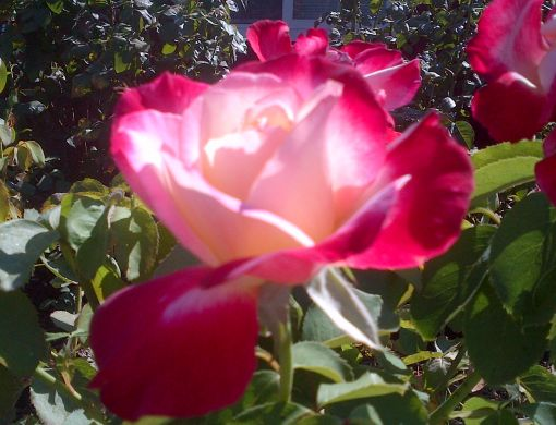 Double Delight Rose does well in our dry climate.