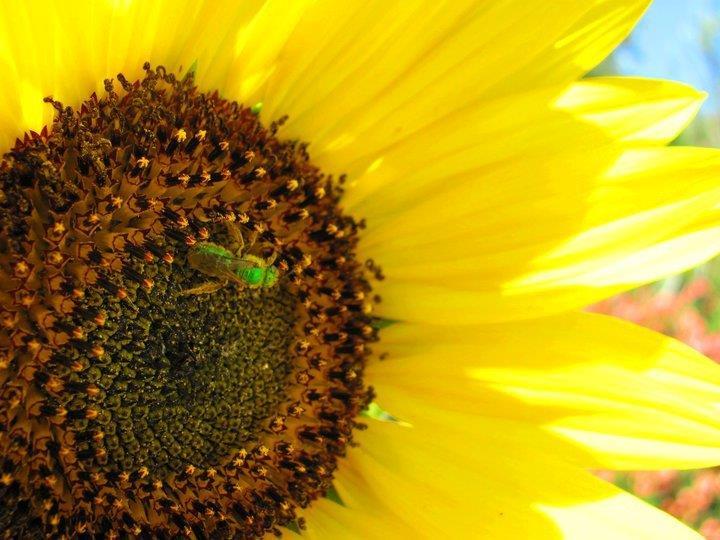 An unusual pollinator, the Metallic Green Bee.