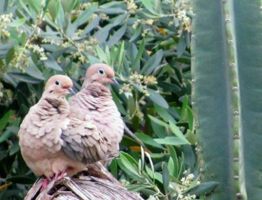 Mourning dove pair.