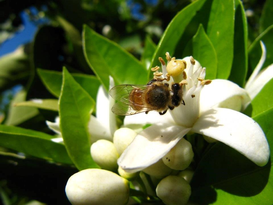 Orange blossoms are being pollinated by our honey bees.