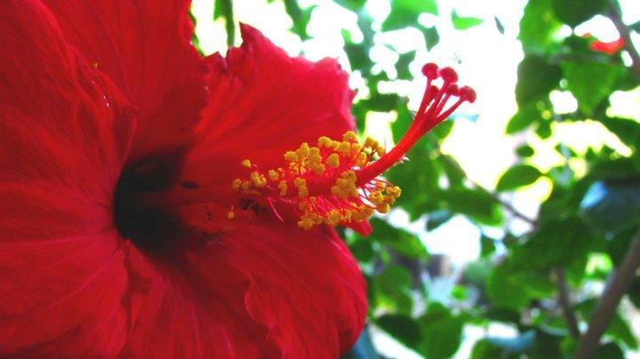Red Hibiscus Flower. An edible flower, the hibiscus is native to many subtropical and tropical regions.  Hibiscus tea is common in many areas of the world. .