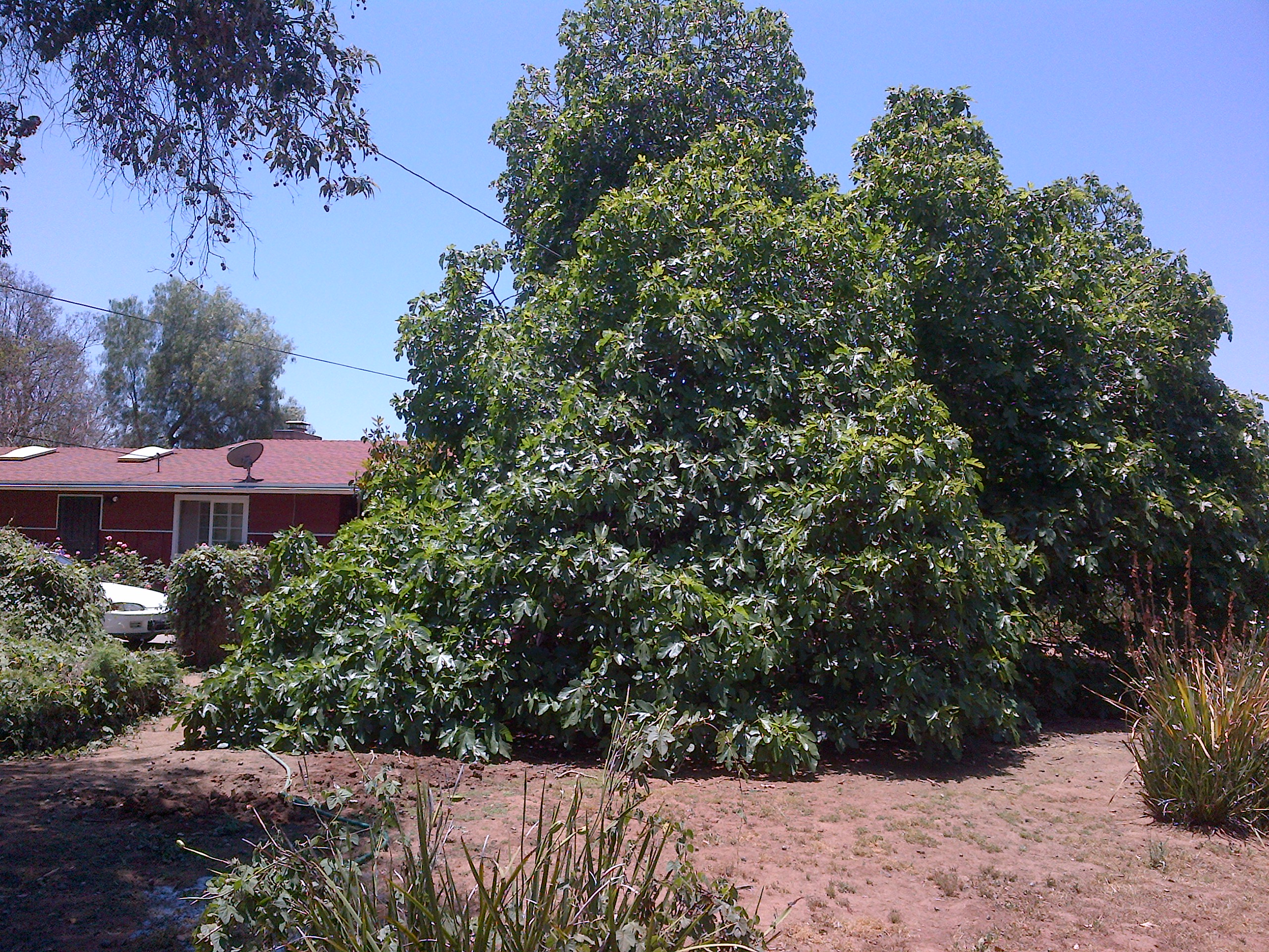 My Mission Fig tree in foreground, avocado trees behind it from Kitty Cooper