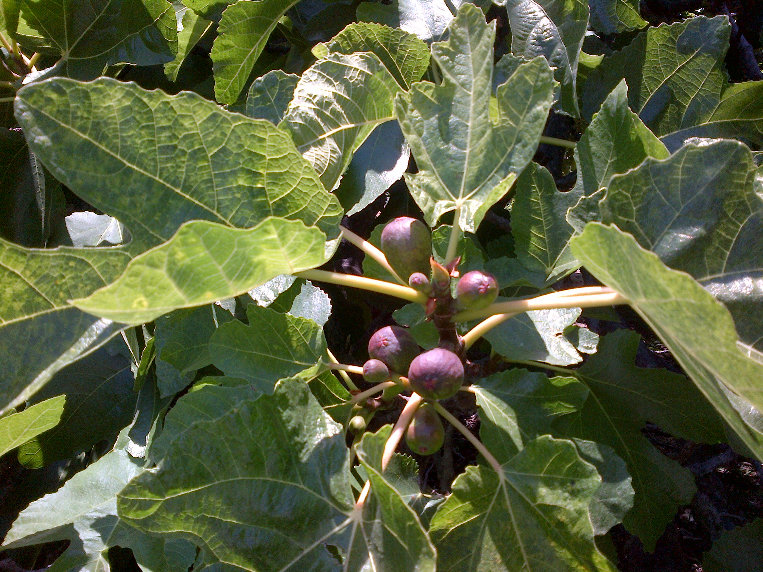 More figs ripening  - Kitty Cooper