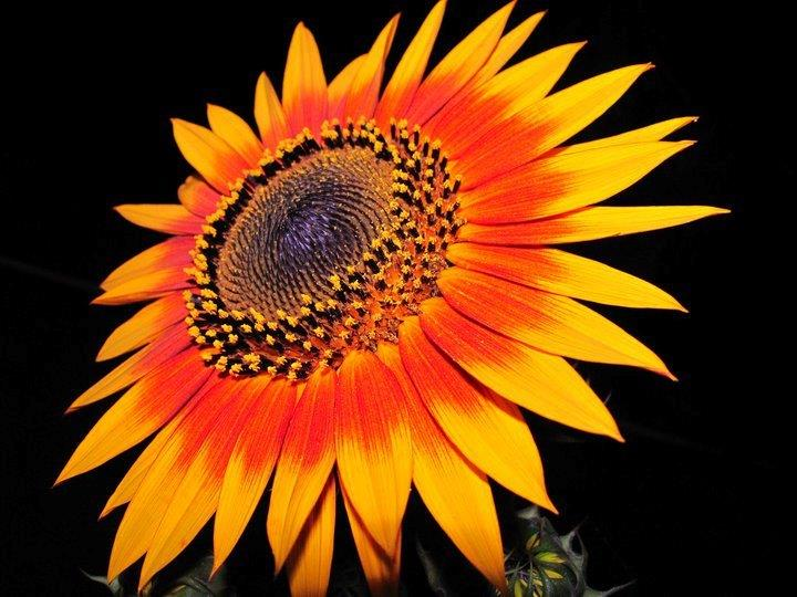Honeybees, green metallic bees, blue jays and local parrot populations all enjoy our tall and colorful sunflowers.