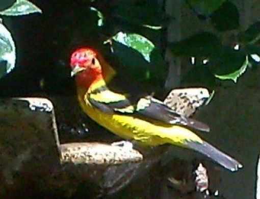 he Western Tanager male (mature) migrates to our Lakeside region for spring nesting. These tree-top forgers eat many insects as well as fruit and nectar.  To learn more about this species visit: http://www.allaboutbirds.org/guide/Western_Tanager/lifehistory