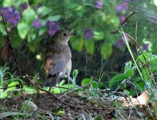 A thrush taking a sprinkler bath.
