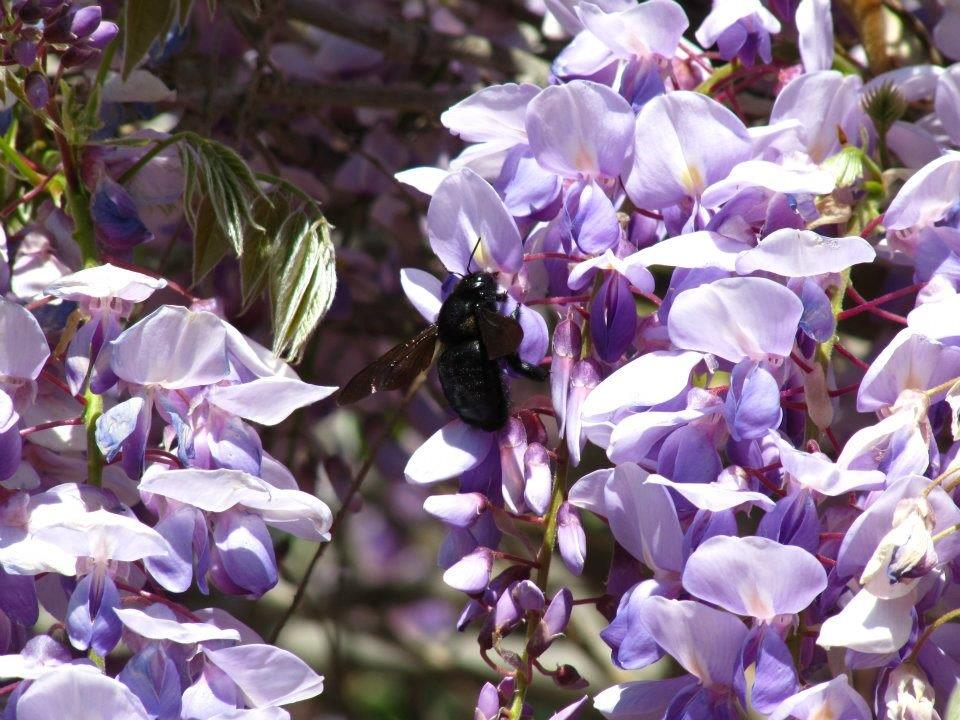 Each year the wisteria blooms, we are visited by beautiful carpenter bees. This is absolutely their favorite flower during spring.
