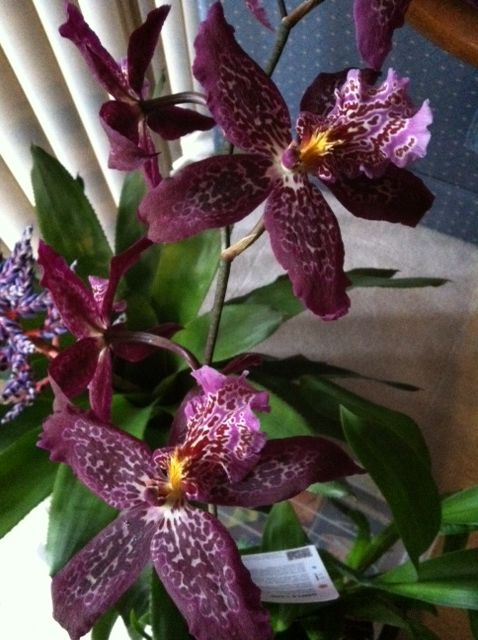 Hybrid Orchid indoors