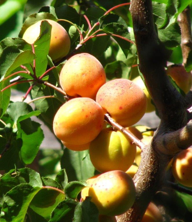 Apricots, such as these Royals, do especially well in Lakeside when we have had a few cold winter nights to satisfy the tree's chilling requirements to produce fruit.