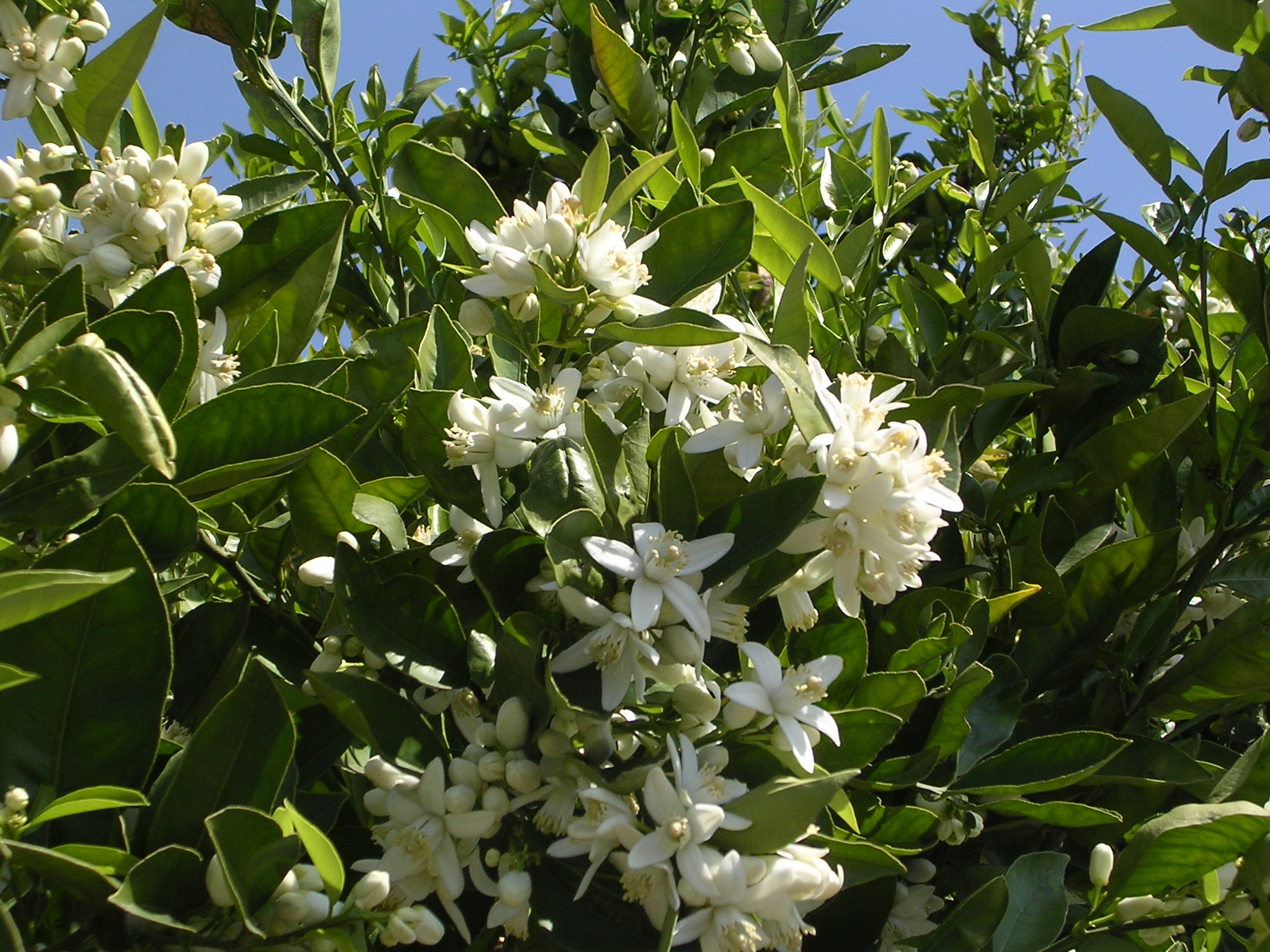Citrus trees such as this orange tree have lovely sweet smeling blossoms and do very well in Lakeside