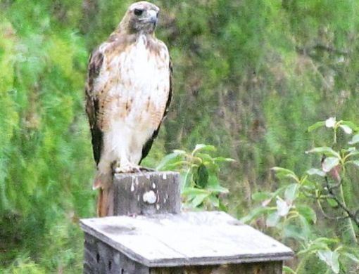 Birds of prey are especially helpful at controlling rodent populations. However, after seeing this Red-tailed hawk on our owl nesting box, we think we figured out why the owls did not nest there this year.